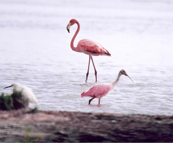 Greater Flamingo & Roseate Spoonbill