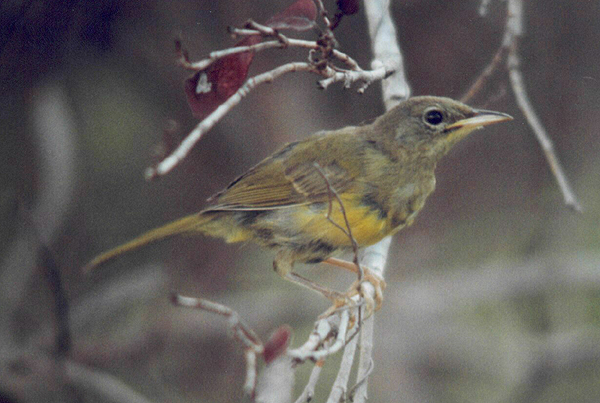 Juvenile Male Bahama Yellowthroat